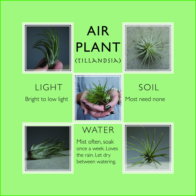 Recipe for healthy air plant @plantspluslife
